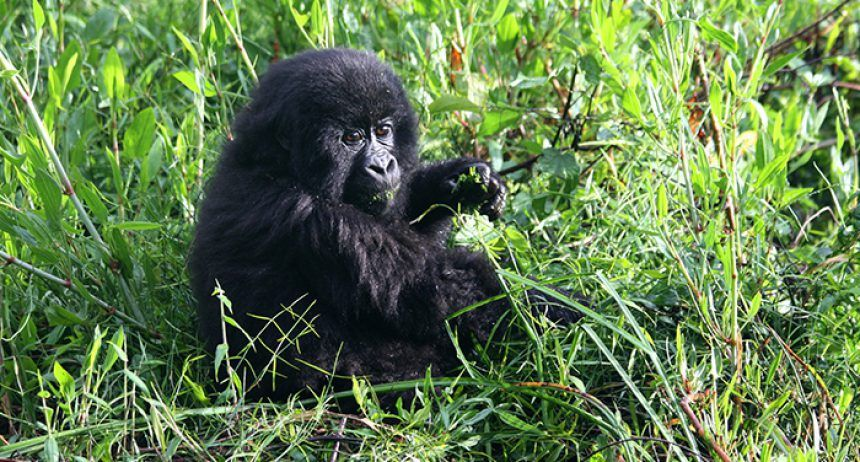 A small, black baby gorilla sitting in a field of grass.